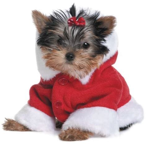 images of christmas yorkies christmas yorkshire terrier woof meow more