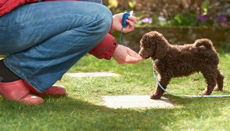 how to clicker a puppy how to get started with clicker your puppy leaks