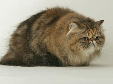 nomi per gatti persiani gattipersiani it gatti persiani