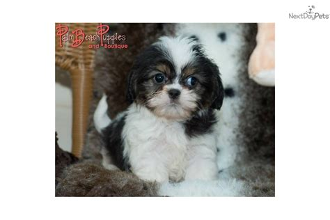 cava tzu puppies for sale mixed other puppy for sale near fort lauderdale florida 67a0c102 ca91