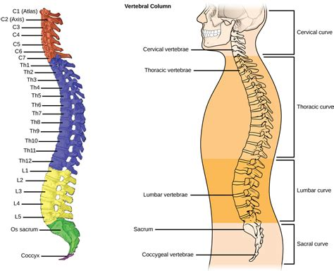 sections of spine in human the basics of the spine body alive