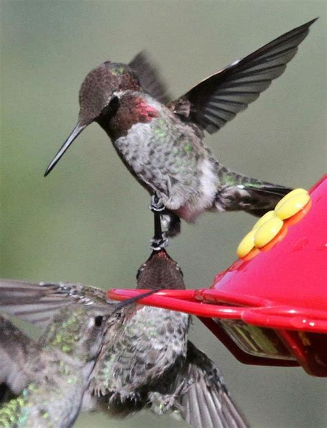 105 best images about hummingbirds on pinterest