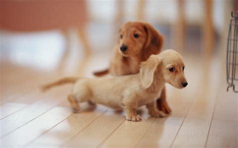 baby puppy just a baby daschund puppy with his big him imgur