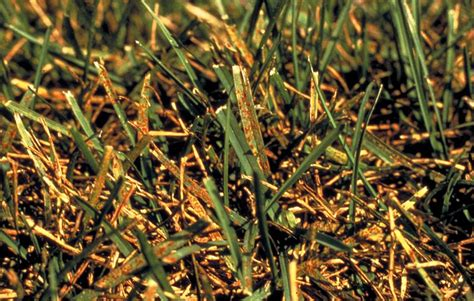 how to get rid of grass rust fungus lawn rust