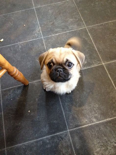 pug x pekingese puppies pug x pekingese barnsley south pets4homes