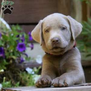 silver lab puppies for sale in md silver labrador puppies for sale in pa greenfield puppies