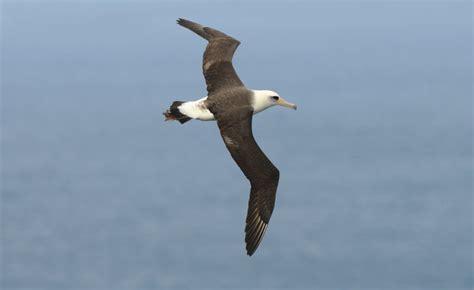 laysan albatross 0308 3j kilauea point kauai photo