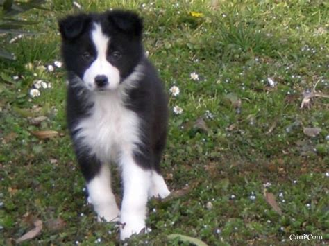 alimentazione border collie border collie 211372
