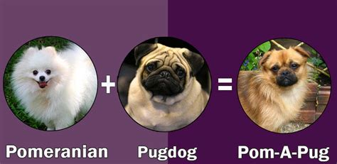 pomeranian pug top 10 cross breeds designer of pug by dogmal