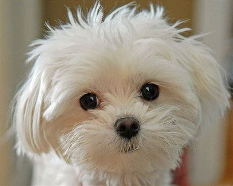 lifespan of maltese poodle 80 best images about dogs that don t shed on