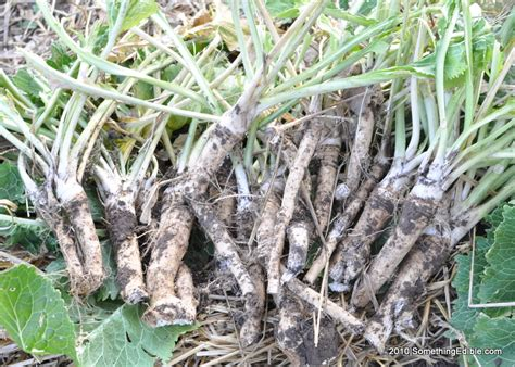 list of edible root edible roots that we eat pictures to pin on pinsdaddy