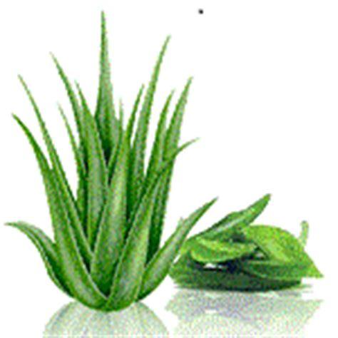 Obat Herbal Aloe Vera 10 jenis tanaman obat dan manfaatnya inkesehatan