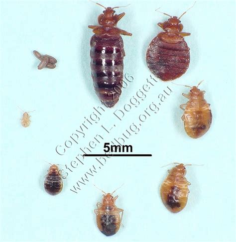 Bugs That Resemble Bed Bugs by Need Help Identifying This Bug A Cockroach Nymph 171 Got