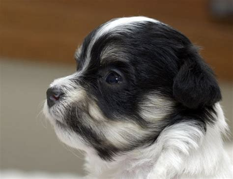 havanese from cuba havanese pictures the havanese resulted from a now extinct breed known as bichon