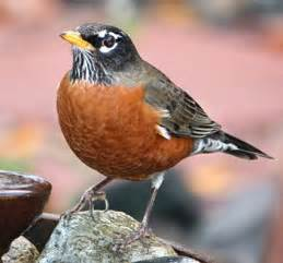 what color is a robin american robin identification all about birds cornell