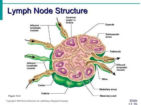 lymph nodes lymphatic