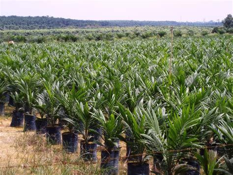 Minyak Kelapa Sawit Terbaru gambar ladang sawit
