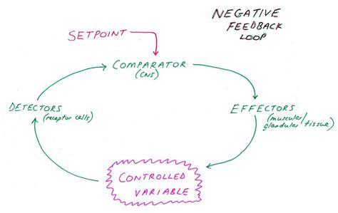 feedback diagram simple negative feedback loops in human wiring