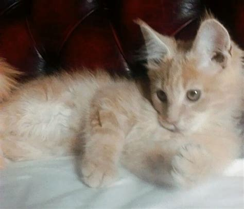 cats for sale plymouth stunning maine coon kitten plymouth pets4homes