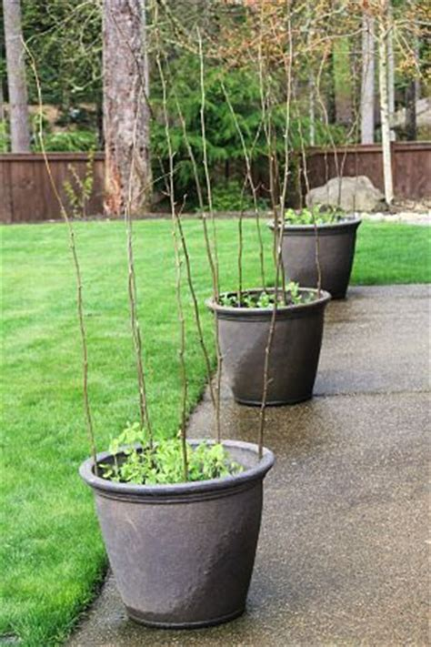 container gardening peas container gardening plants and beans on