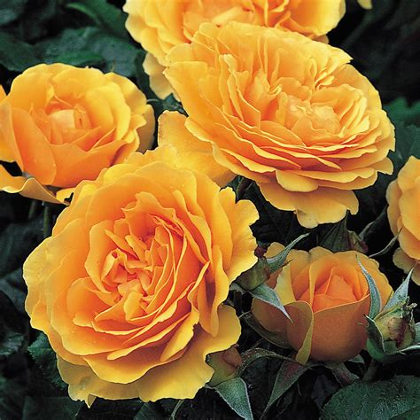 Fragrant Flowering Plants - amber queen repeat flowering popular searches