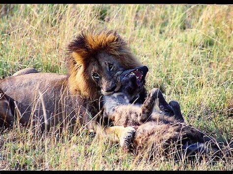 lions attack kill hyena lions hyenas wars    animal  lion  kill  kill
