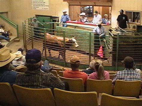 livestock auction 17 best images about 120 cattle auction on