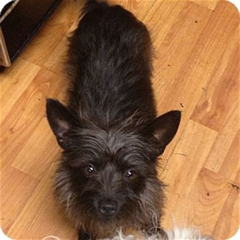 was toto a yorkie toto adopted hazard ky yorkie terrier cairn terrier mix