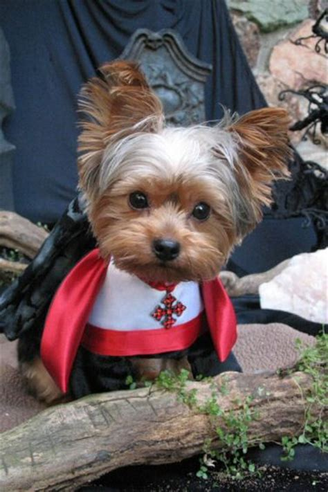 costumes for yorkies dracula yorkie and on