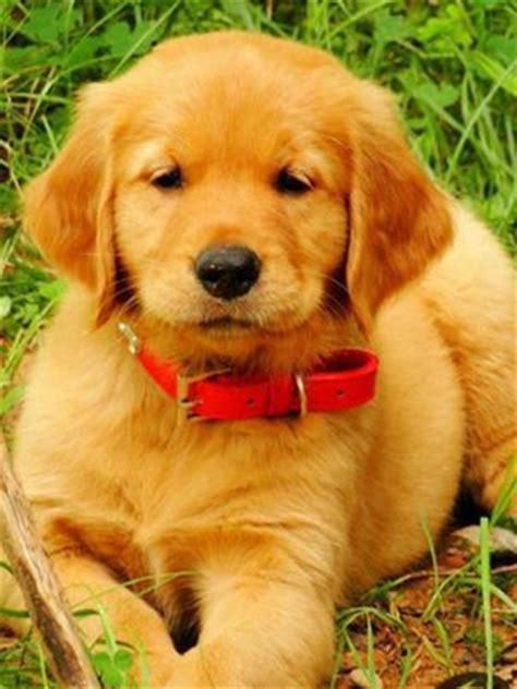 golden retriever collars golden retriever puppy with a collar animals retriever puppies