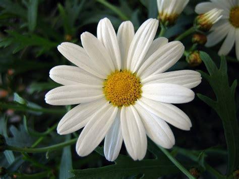 significato di fiore significato margherita significato dei fiori conoscere