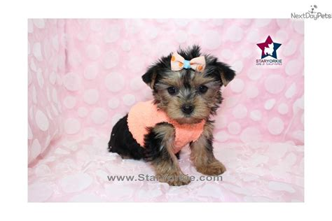 white teacup yorkie puppies vichatter pretty wallpaper