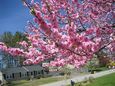 alberi da fiore ornamentali le piante da giardino giardinaggio piante per giardino