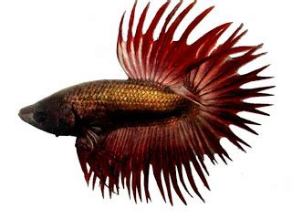 Ikan Hias Keling Lilin ikan cupang