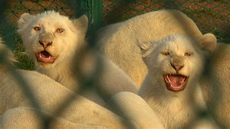 lions tigers  problem pets   gulf cnncom