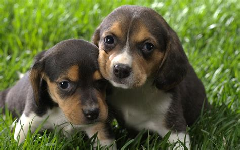 beagle dogs beagle puppies wallpaper 13706