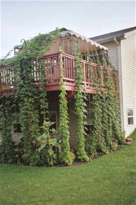 Growing Hops At Home Trellis how to grow hops a hop growing journal and how to guide