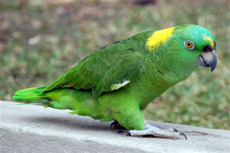 amazon parrot yellow naped amazon funtime birdy parrot lovers blog
