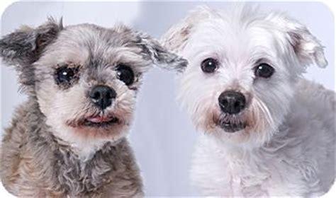 shih tzu mix puppies chicago chicago il shih tzu mix meet gilda glenn a for adoption