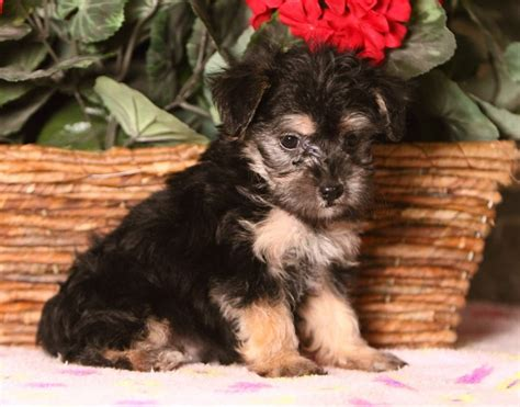 yorkie poo puppies for sale australia yorkie poo puppies adelaide dogs for sale puppies for sale adelaide 284599