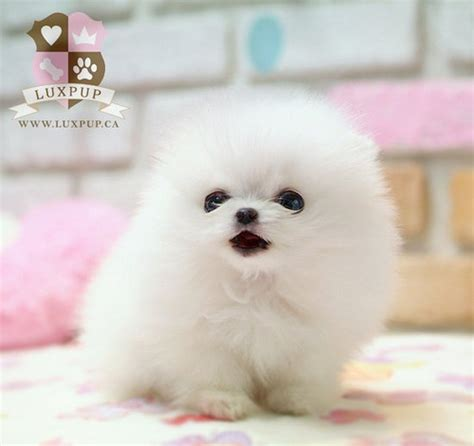 pictures of micro teacup pomeranians teacup white pomeranian flickr photo