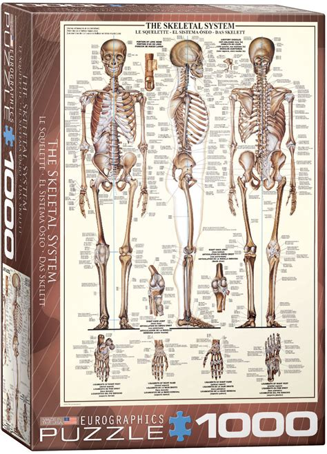 skeletal system jigsaw puzzles  eurographics