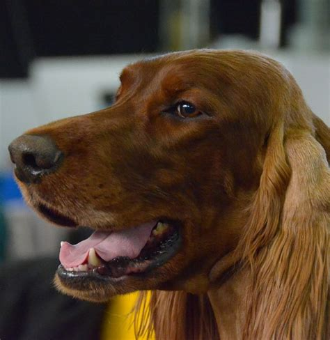 irish setter dog show 51 best westminster kennel club dog show images on