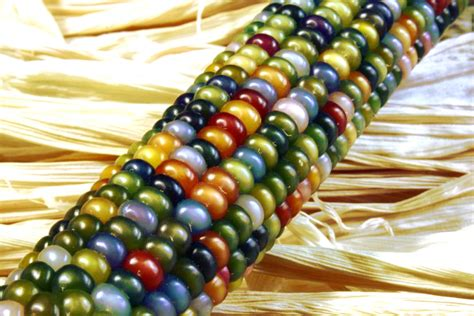 Glass Gem Corn Benih Seed Biji the 3 sisters corn beans squash educational materials efficient solutions