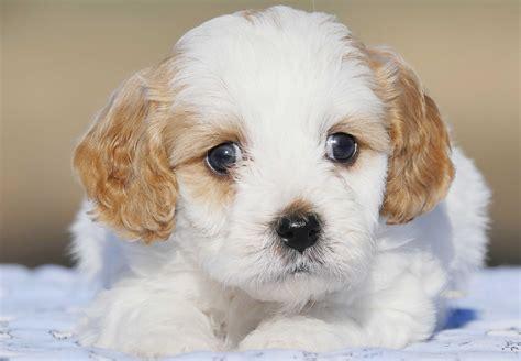 cavoodle puppies for sale cavoodle puppies for sale chevromist kennels