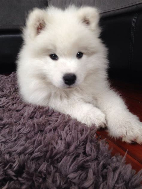how much are samoyed puppies best 25 samoyed puppies ideas on