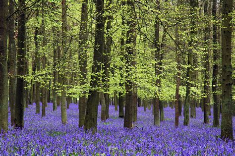 bluebell forest bluebells ouzepo