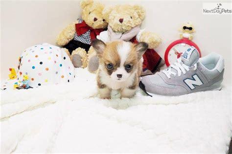 corgi puppies for sale las vegas molly corgi pembroke puppy for sale near las vegas nevada 8bf93771 14f1