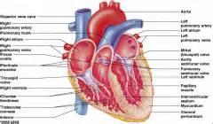 pathology cardiomyopathy flashcards cram