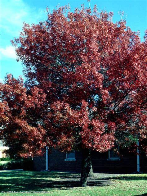 best shade trees for dfw shumard red oak southwest kansas prefered trees pinterest red